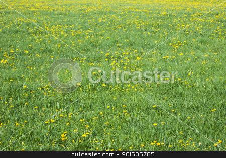 dandelion field stock photo, An image of a dandelion field background by Markus Gann