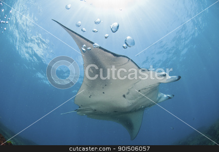 Underview of a mantaray stock photo, A mantray swimming along a reef, Zavora, Mozambique by Fiona Ayerst Underwater Photography