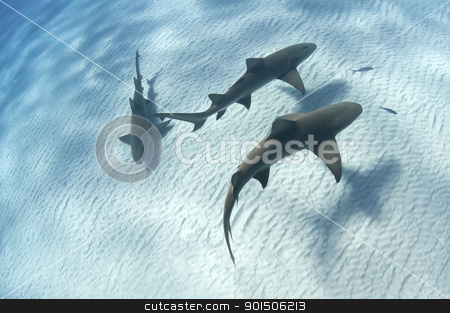 Shark shadow stock photo, Sharks swimming along the sea bed, Bahamas by Fiona Ayerst Underwater Photography