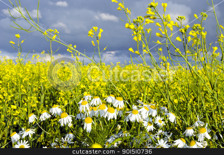 Rape field and chamomile marguerite closeup  stock photo, Rape field and chamomile marguerite closeup. Yellow white colors play.  by sauletas