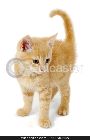 Kitten stock photo, Sweet kitten is standing on a white background by Lars Christensen
