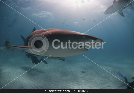 Shark grin stock photo, A close up on a lemon shark swimming near divers, Bahamas by Fiona Ayerst Underwater Photography