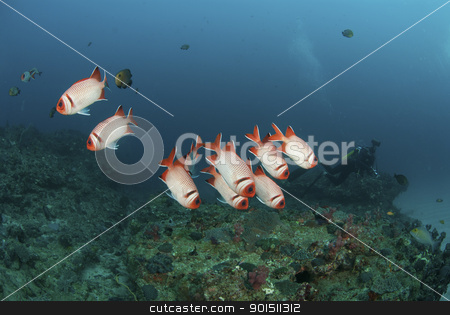 Blotcheye soldiers stock photo, A school of blotheye soldier fish swimming along a reef, Sodwana Bay, South Africa by Fiona Ayerst Underwater Photography