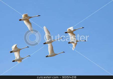 Tundra Swans in Flight stock photo, Tundra Swans flying in a clear blue winter sky. by Delmas Lehman