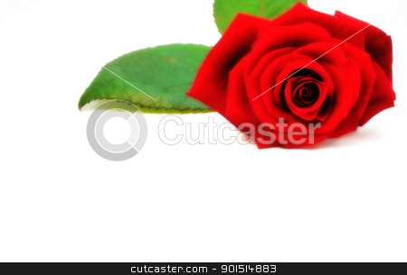 Red rose stock photo, Red isolated rose on white background. by Primus