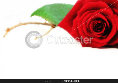 Love me stock photo, Red rose with thorns on white background. by Primus