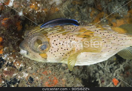 Porcupine fish stock photo, Fish swimming along a coral reef, Zavora, Mozambique by Fiona Ayerst Underwater Photography