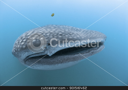 Open mouth Whale shark stock photo, A close up on a whale shark with an open mouth, KwaZulu Natal, South Africa by Fiona Ayerst Underwater Photography