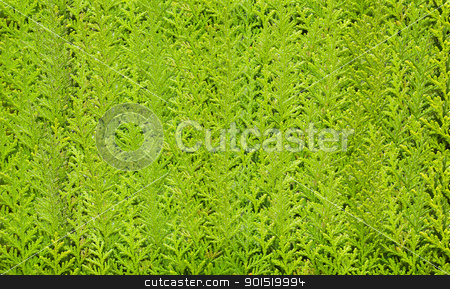 Cypress tree leaves stock photo, Cypress tree leaves. Colorful Pine Tree Background by stoonn