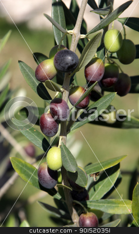 Olives on the Tree stock photo, Olives still on the branch of an Olive tree in Italy. by Chris Hill