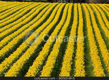 Rows of flowering yellow daffodil flowers in a field. stock photo, Rows of flowering yellow daffodil flowers in a field. by Stephen Rees