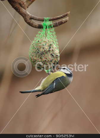 Blue Tit (Parus caeruleus) stock photo, Blue Tit (Parus caeruleus) feeding on a fat ball in winter by DirkR