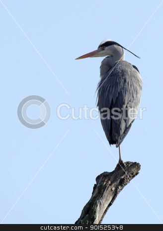Grey Heron (Ardea cinerea) stock photo, Grey Heron (Ardea cinerea) sitting on a branch before blue sky by DirkR