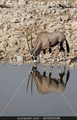 Gemsbok stock photo, Gemsbok (Oryx gazella) at the waterhole in the Etosha National Park, Namibia by DirkR