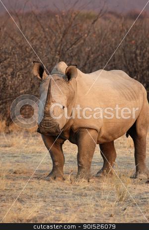 Square-lipped Rhinoceros (Ceratotherium simum) stock photo, Square-lipped Rhinoceros (Ceratotherium simum) in the Etosha National Park, Namibia by DirkR