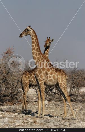 Two Giraffes (Giraffa camelopardis) stock photo, Two Giraffes in the Etosha National Park, Namibia by DirkR