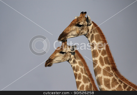 Giraffes (Giraffa camelopardalis) stock photo, Two Giraffes in the Etosha National Park, Namibia by DirkR