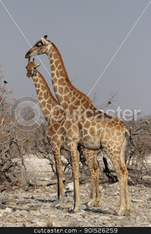 Giraffes (Giraffa camelopardalis) stock photo, Two Giraffes in the Etosha National Park, Namibia by DirkR