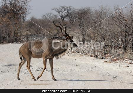 Greater Kudu (Tragelaphus strepsiceros) stock photo, Greater Kudu (Tragelaphus strepsiceros) in the Etosha National Park, Namibia by DirkR