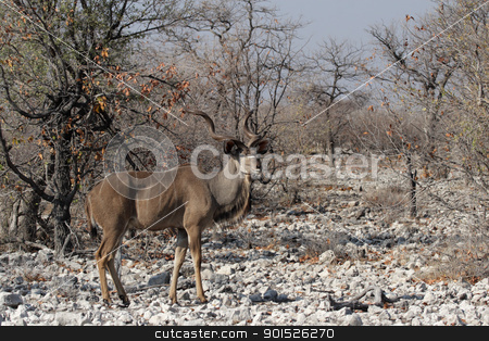 Greater Kudu (Tragelaphus strepsiceros) stock photo, Greater Kudu (Tragelaphus strepsiceros) in the Etosha National Park, Namibia by DirkR