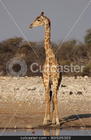 Giraffe (Giraffa camelopardis) stock photo, Giraffe at the waterhole in the Etosha National Park, Namibia by DirkR