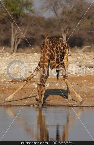 Giraffe (Giraffa camelopardis) stock photo, Drinking Giraffe at the waterhole in the Etosha National Park, Namibia by DirkR
