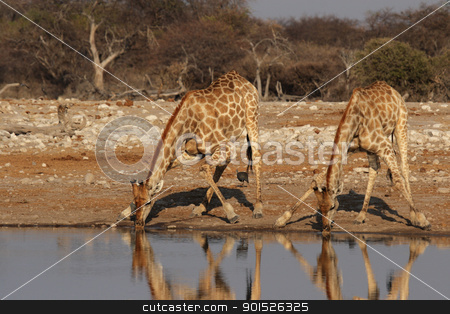 Two Giraffes stock photo, Two Giraffes drinking at the waterhole in the Etosha National Park, Namibia by DirkR