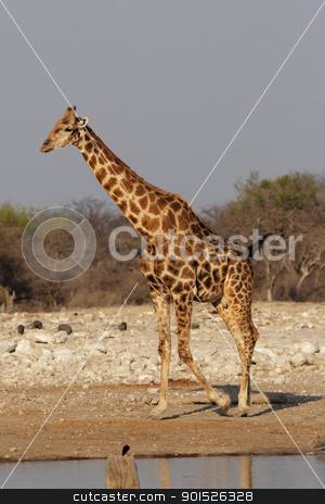 Giraffe (Giraffa camelopardalis) stock photo, Giraffe at the waterhole in the Etosha National Park, Namibia by DirkR