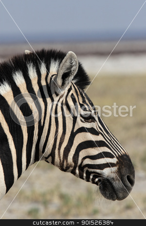 Plains Zebra stock photo, Close up of a Plains Zebra (Equus quagga) in the Etosha National Park, Namibia by DirkR