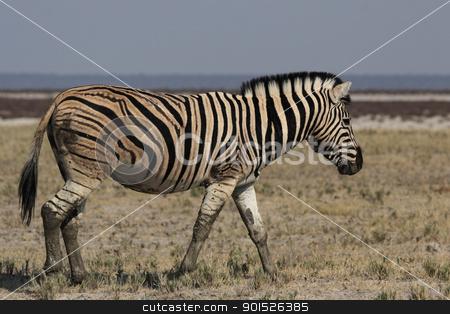 Plains Zebra (Equus quagga) stock photo, Plains Zebra (Equus quagga) in the Etosha National Park, Namibia by DirkR