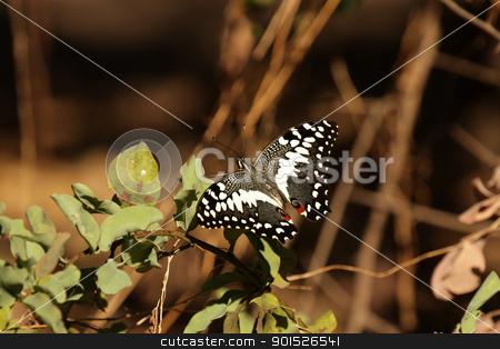 Citrus Swallowtail (Papilio demodocus) stock photo, Citrus Swallowtail (Papilio demodocus) in the Okavango Delta in Botswana. by DirkR