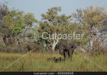 Elephant (Loxodonta africana) stock photo, Elephant (Loxodonta africana) in the Okavango Delta, Botswana. by DirkR