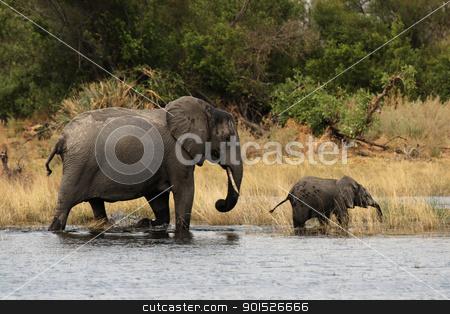 Elephants (Loxodonta africana) stock photo, Elephant mother with cub in the Okavango Delta, Botswana. by DirkR