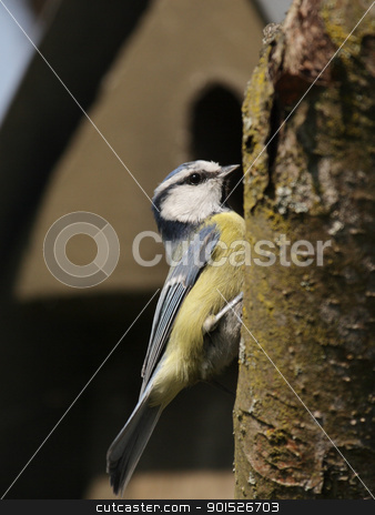 Blue Tit (Parus caeruleus) stock photo, Blue Tit (Parus caeruleus) sitting on a tree trunk. by DirkR