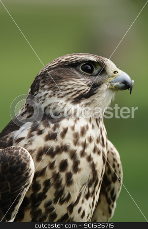Saker Falcon (Falco cherrug) stock photo, Portrait of a Saker Falcon (Falco cherrug). by DirkR