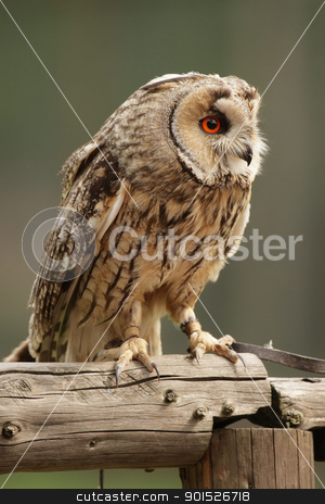 Long-eared Owl (Asio otus) stock photo, Long-eared Owl (Asio otus) sitting on a fence. by DirkR