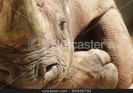 Hook-lipped Rhinoceros (Diceros bicornis) stock photo, Close up of a Hook-lipped Rhinoceros (Diceros bicornis) relaxing on the ground. by DirkR
