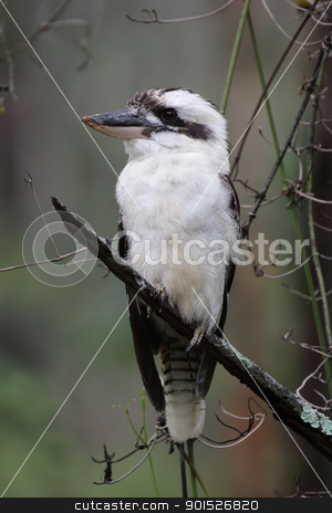 Laughing Kookaburra (Dacelo novaeguineae) stock photo, Laughing Kookaburra (Dacelo novaeguineae) sitting in a tree in Queensland, Australia. by DirkR