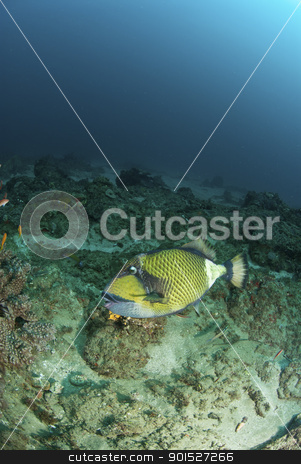 Triggerfish stock photo, The view of a triggerfish swimming along a reef, KwaZulu Natal by Fiona Ayerst Underwater Photography