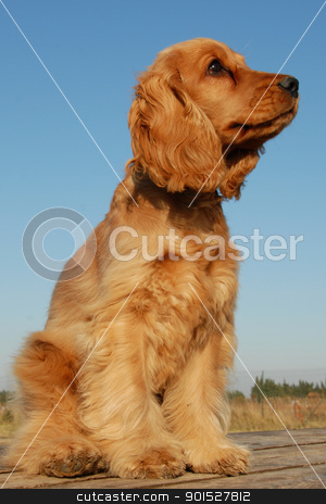 puppy english cocker stock photo, portrait of a puppy purebred english cocker on a blue sky by Bonzami Emmanuelle