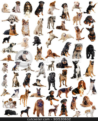 group of dogs stock photo, composite picture with purebred  dogs in a white background by Bonzami Emmanuelle
