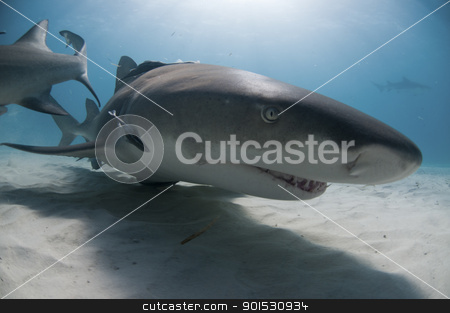 Smiling shark stock photo, A lemon shark swimming along the sea bed, Bahamas by Fiona Ayerst Underwater Photography