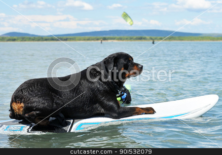 rottweiler and windsurf stock photo, purebred rottweiler resting on a windsurf in the sea by Bonzami Emmanuelle