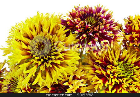Gaylardiya stock photo, A bouquet of yellow and purple flowers gaylardii isolated on white background by rezkrr