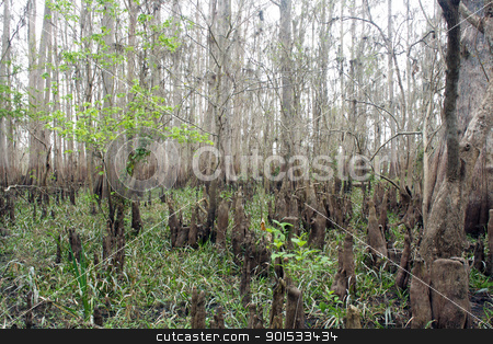 Exposed Tropical Riverbed (9) stock photo, A rare view of a central Florida cypress marsh that's normally under approximately six feet of water.  The waterline is easily visible on the tree trunks.  The nutrient-rich muck fosters lush, green plant growth. by Carl Stewart