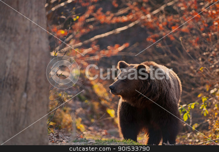 bear stock photo, curious ber in the forest and reservation Zarnesti near Brasov Romania by ginabuliga