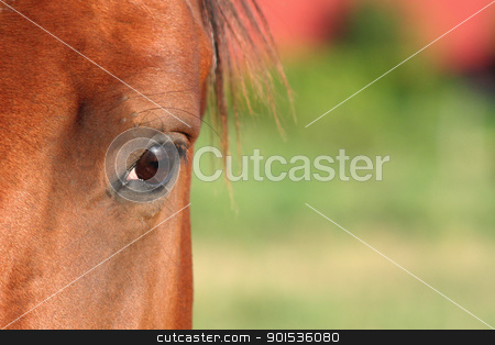 Horse Eye stock photo, A closeup of a horse's eye. by Chris Hill
