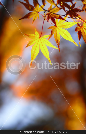 beautiful maple leaves  in Japan stock photo, beautiful maple leaves  in Japan by yoshiyayo