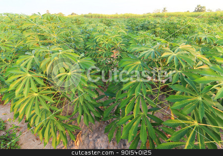 Acres of cassava stock photo, Acres of cassava by Sailom