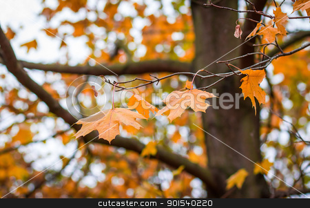 Autumn maple leaves with shallow focus background  stock photo, Orange autumn maple leaves with shallow focus background  by Artush